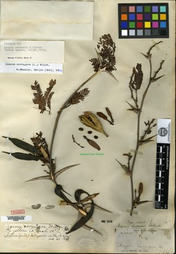 Image of Acacia cubensis