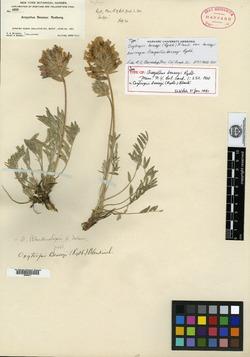 Image of Aragallus besseyi