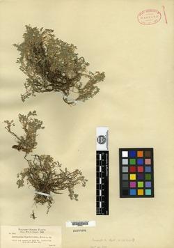 Image of Astragalus tegetarioides
