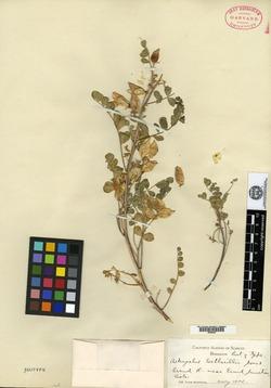 Image of Astragalus wetherilli