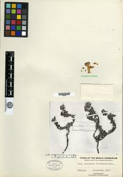 Astragalus vagus image
