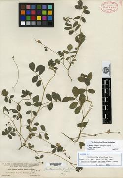 Coursetia caribaea var. caribaea image
