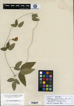 Image of Bradburya arenicola
