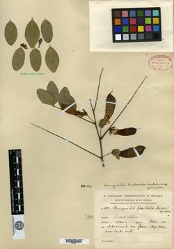 Image of Brongniartia bracteolata