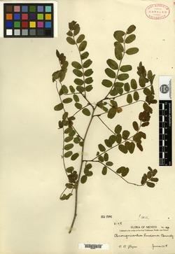 Image of Brongniartia luisana