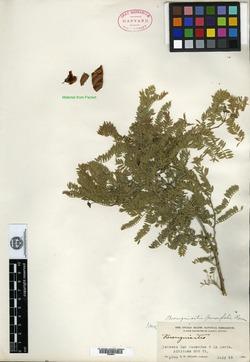 Image of Brongniartia parvifolia