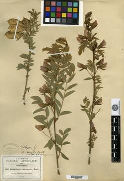 Image of Brongniartia pringlei