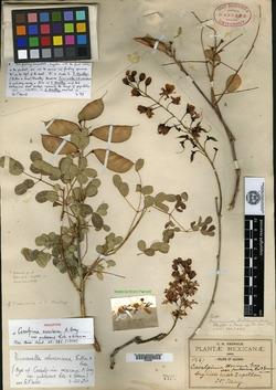 Image of Caesalpinia robinsoniana