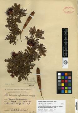 Calliandra bijuga image