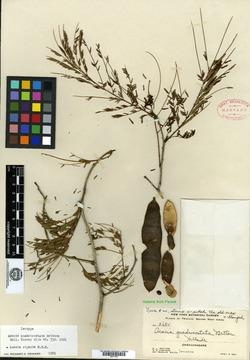 Image of Acacia quadricostata
