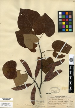 Image of Cercis georgiana