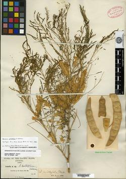 Acacia millefolia image