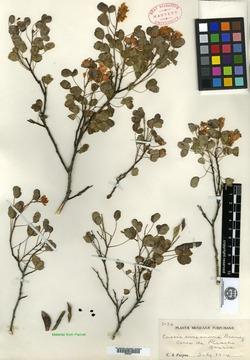 Chamaecrista zygophylloides image