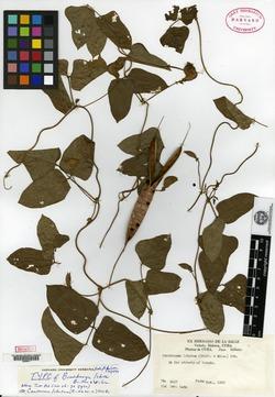 Image of Centrosema macranthum