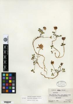Image of Trifolium rollinsii