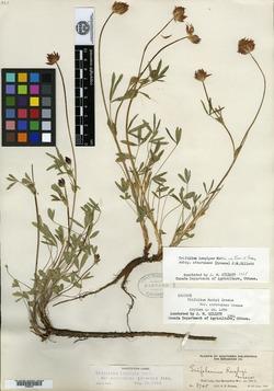 Image of Trifolium atrorubens