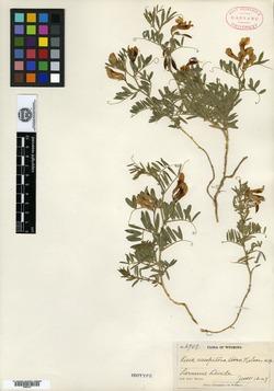 Image of Vicia caespitosa