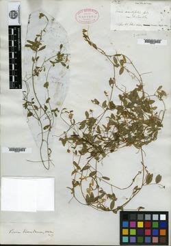 Vicia floridana image