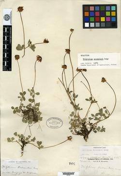 Image of Trifolium bolanderi