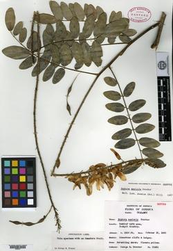Image of Sophora saxicola