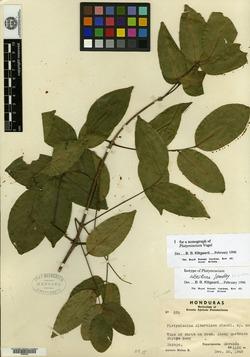 Image of Platymiscium albertinae