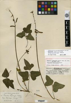 Image of Phaseolus esperanzae