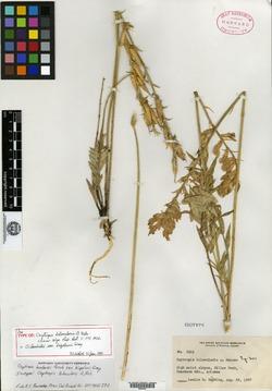 Oxytropis bilocularis image