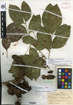 Zygia latifolia image