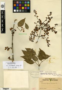 Image of Platymiscium yucatanum
