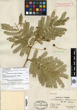 Pithecellobium barbourianum image