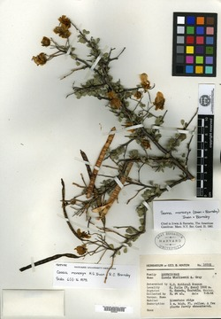 Image of Cassia monozyx