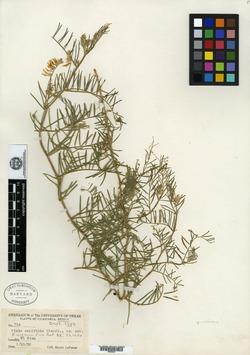 Image of Vicia canifolia