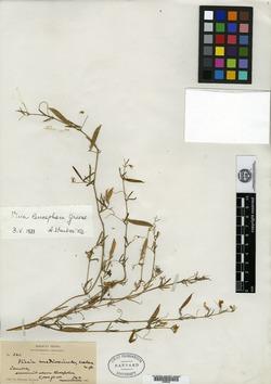 Vicia leucophaea image