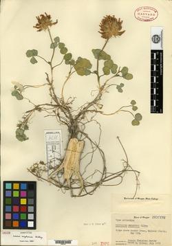 Image of Trifolium owyheense