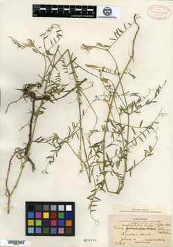 Image of Vicia melilotoides