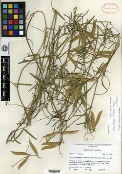 Image of Vicia ocalensis