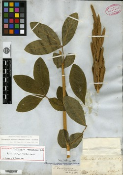 Thermopsis caroliniana image
