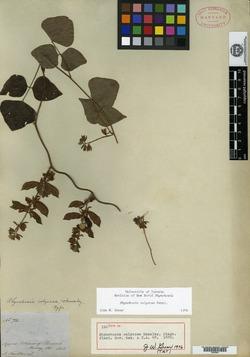 Rhynchosia calycosa image