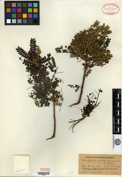Image of Abarema abbottii