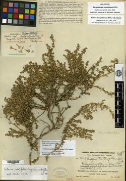 Nolana tocopillensis image