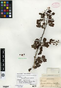 Image of Mimosa lactiflua
