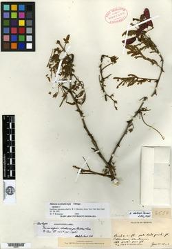 Image of Mimosa rhodocarpa