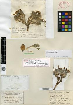 Image of Oxytropis hallii