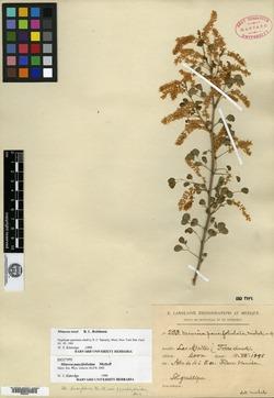 Image of Mimosa rosei