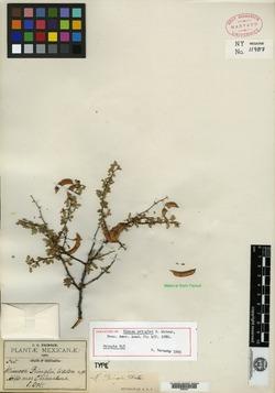 Image of Mimosa pringlei