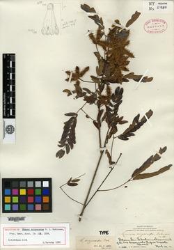Image of Mimosa sicyocarpa