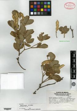 Image of Mimosa sousae