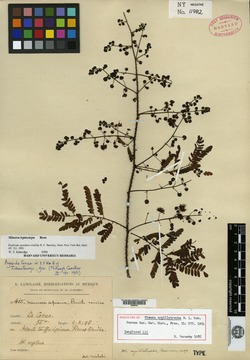 Image of Mimosa argillotropha