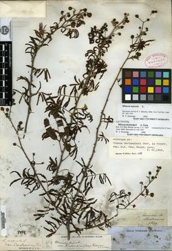 Image of Mimosa berlandieri