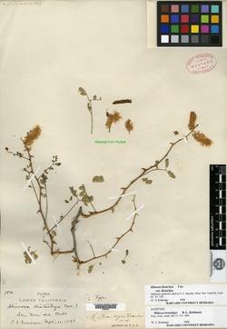 Mimosa brandegei image